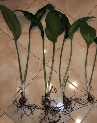 Амазонская лилия в домашних условиях уход