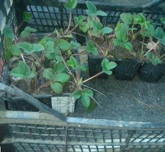Как сохранить рассаду клубники в подвале 38